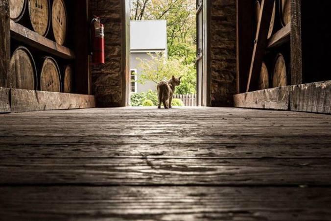 Distillery Cat